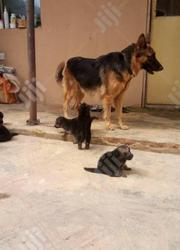 Baby Male Purebred German Shepherd Dog | Dogs & Puppies for sale in Abuja (FCT) State, Maitama