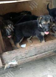 Baby Female Purebred German Shepherd Dog | Dogs & Puppies for sale in Abuja (FCT) State, Maitama
