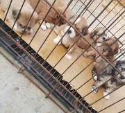 Baby Female Purebred Lhasa Apso   Dogs & Puppies for sale in Abuja (FCT) State, Maitama