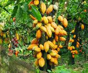Special Cocoa | Feeds, Supplements & Seeds for sale in Edo State, Okada