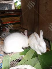 Rabbit For Sale | Livestock & Poultry for sale in Delta State, Ughelli North