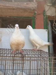 Modain Pigeons For Sale | Birds for sale in Abuja (FCT) State, Karu