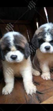 Baby Male Purebred Saint Bernard | Dogs & Puppies for sale in Abuja (FCT) State, Maitama