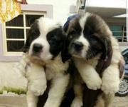 Baby Female Purebred Saint Bernard | Dogs & Puppies for sale in Abuja (FCT) State, Maitama