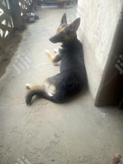 Adult Female Mixed Breed German Shepherd Dog | Dogs & Puppies for sale in Oyo State, Ibadan