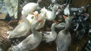 Geese For Sale At Affordable Prices | Livestock & Poultry for sale in Sokoto State, Bodinga