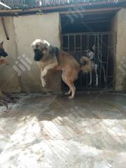 Adult Female Purebred Caucasian Shepherd Dog | Dogs & Puppies for sale in Oyo State, Ibadan South West