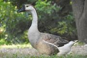 Chinese Geese   Livestock & Poultry for sale in Kano State, Fagge