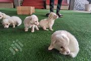 Baby Female Purebred Samoyed | Dogs & Puppies for sale in Oyo State, Ibadan North West