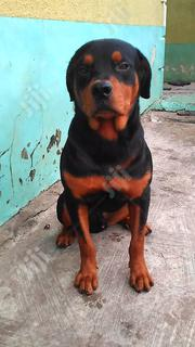 Adult Male Purebred Rottweiler Available For Stud Service | Other Animals for sale in Lagos State, Ikeja