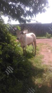 Caw For Sale | Other Animals for sale in Lagos State, Ikorodu