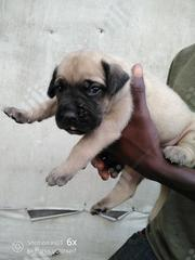 Young Male Purebred Boerboel | Dogs & Puppies for sale in Rivers State, Port-Harcourt