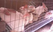 Fast Growing Hyla Rabbit For Sale | Livestock & Poultry for sale in Ogun State, Abeokuta South