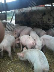 Hybrid Pig Weaners For Sale. Fast Growing. Good For Fattening Deals. | Livestock & Poultry for sale in Ogun State, Ado-Odo/Ota