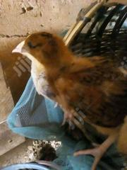 Day Old Chicks For Sale | Livestock & Poultry for sale in Oyo State, Oluyole