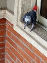 African Gray Parrot Available For Sale | Birds for sale in Oyo State, Ibadan