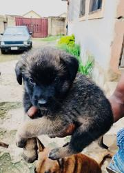 Baby Male Purebred German Shepherd Dog | Dogs & Puppies for sale in Abuja (FCT) State, Gwarinpa