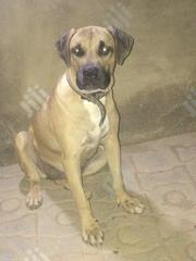 Adult Female Purebred Boerboel | Dogs & Puppies for sale in Oyo State, Oluyole