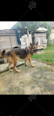 Adult Female Purebred German Shepherd Dog | Dogs & Puppies for sale in Oyo State, Ibadan North