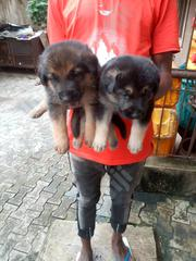 Young Female Purebred German Shepherd Dog | Dogs & Puppies for sale in Lagos State, Lagos Mainland