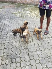 Boerbel Pure Breeds For Sale | Pet Services for sale in Rivers State, Port-Harcourt
