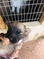 Baby Male Mixed Breed Caucasian Shepherd Dog | Dogs & Puppies for sale in Ogun State, Ado-Odo/Ota