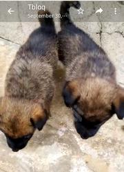 Baby Male Purebred German Shepherd Dog | Dogs & Puppies for sale in Abuja (FCT) State, Nyanya