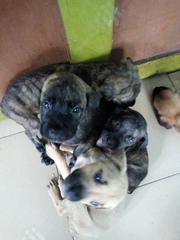 Young Male Mixed Breed Boerboel | Dogs & Puppies for sale in Rivers State, Port-Harcourt