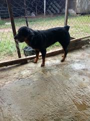 Adult Female Purebred Rottweiler | Dogs & Puppies for sale in Oyo State, Ibadan South West