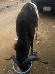 New Ram For Sell A Good Fighter | Other Animals for sale in Lagos State, Agboyi/Ketu