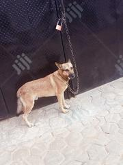 Adult Male Purebred German Shepherd Dog | Dogs & Puppies for sale in Oyo State, Ibadan North East