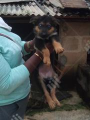 Young Female Purebred German Shepherd Dog | Dogs & Puppies for sale in Lagos State, Ikotun/Igando