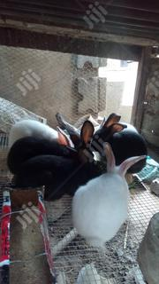 Quality Rabbits At Dansam Farms,Ota | Livestock & Poultry for sale in Ogun State, Ado-Odo/Ota