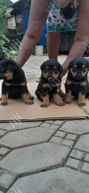 Baby Female Purebred Rottweiler | Dogs & Puppies for sale in Enugu State, Enugu South