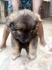 Baby Male Purebred Caucasian Shepherd Dog | Dogs & Puppies for sale in Lagos State, Ojo
