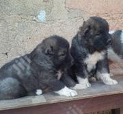 Baby Female Purebred Caucasian Shepherd Dog   Dogs & Puppies for sale in Abuja (FCT) State, Kado