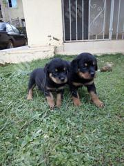 Baby Male Purebred Rottweiler   Dogs & Puppies for sale in Abuja (FCT) State, Kado