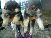 Baby Female Purebred German Shepherd Dog   Dogs & Puppies for sale in Abuja (FCT) State, Kado