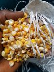 Hybrid Maize Seeds With Resistance | Feeds, Supplements & Seeds for sale in Ibadan North, Oyo State, Nigeria