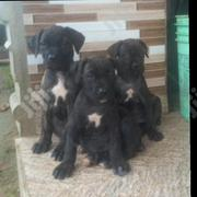 Baby Female Purebred Boerboel | Dogs & Puppies for sale in Oyo State, Ibadan South West