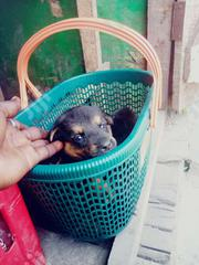 Baby Female Mixed Breed German Shepherd Dog | Dogs & Puppies for sale in Lagos State, Shomolu