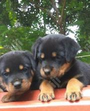 Baby Male Purebred Rottweiler | Dogs & Puppies for sale in Abuja (FCT) State, Durumi