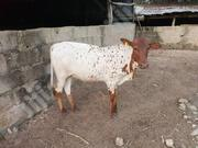 Half Breed Holstein Friesian Cow | Livestock & Poultry for sale in Kano State, Gwale
