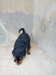 Baby Male Purebred Rottweiler | Dogs & Puppies for sale in Oyo State, Ibadan North West