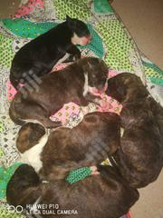 Baby Male Purebred American Pit Bull Terrier   Dogs & Puppies for sale in Lagos State, Lekki Phase 1