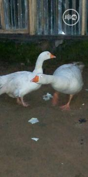 Geese and Turkey | Livestock & Poultry for sale in Rivers State, Obio-Akpor