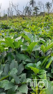 Fresh And Green Pumpkin Leaf And Seed Straight Out Of Farm For Sale | Feeds, Supplements & Seeds for sale in Rivers State, Port-Harcourt