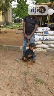 Adult Female Purebred Rottweiler   Dogs & Puppies for sale in Oyo State, Ibadan North East