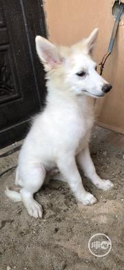 Young Male Purebred Samoyed   Dogs & Puppies for sale in Lagos State, Lagos Island
