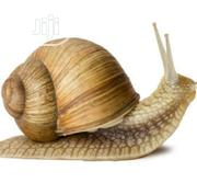SNAILS For Sale   Livestock & Poultry for sale in Delta State, Oshimili North